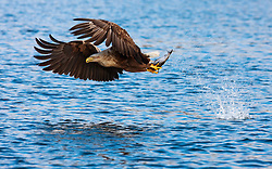 White-tailed Eagle (Haliaeetus albicilla) in Flatanger, Norway