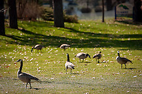 JEROME A. POLLOS/Press..Geese graze on the grassy area Thursday at Q'emiln Park in Post Falls. City officials are trying to find ways to keep the fowl out of the park areas before the busy summer season.