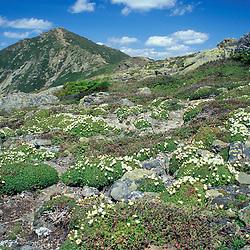 Diapensia, Diapensia lapponica. Appalachian Trail.  Spring. Mt. Lincon  Franconia Ridge.  White Mountain NF  Little Haystack, NH
