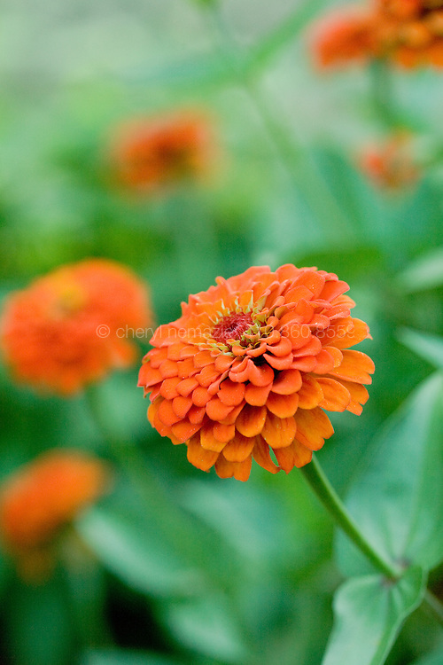 Bright orange zinnias in the garden.