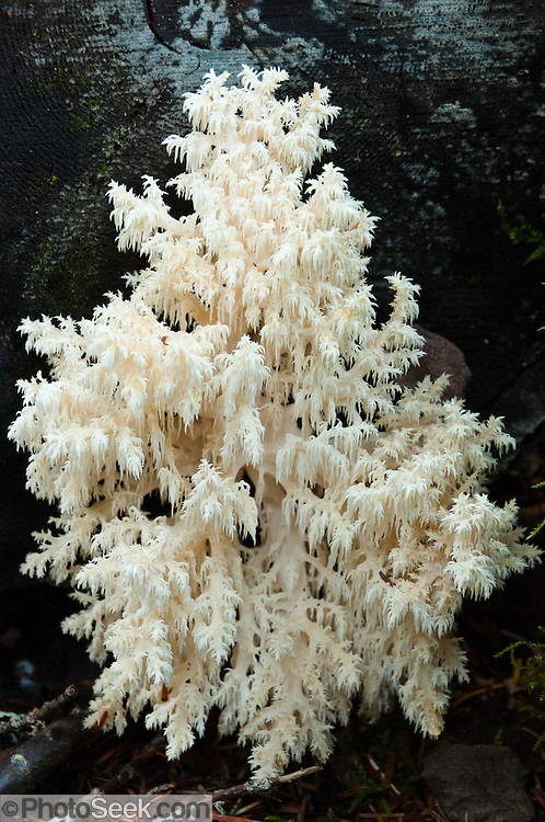 Coral Hydnum mushroom (Hericium coralloides). This fungi was found on the Rachel Lake hike in Alpine Lakes Wilderness, Wenatchee National Forest, Washington, USA