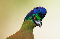 Purple Crested Turaco, Mkuze Game Reserve, KwaZulu Natal, South Africa
