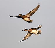 Wigeon Ducks at the Delta Marsh, early Thursday, April 12, 2012. (TREVOR HAGAN)