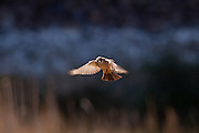 Say's phoebe (Sayornis saya) hovering above reeds looking to glean insects. Central Washington desert near Whisper Lake.