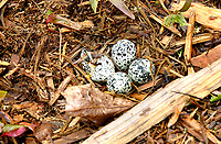 Killdeer nest with eggs   Photo: Peter Llewellyn