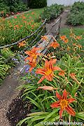 Lillies in the Elizabeth Reynolds House garden in mid June