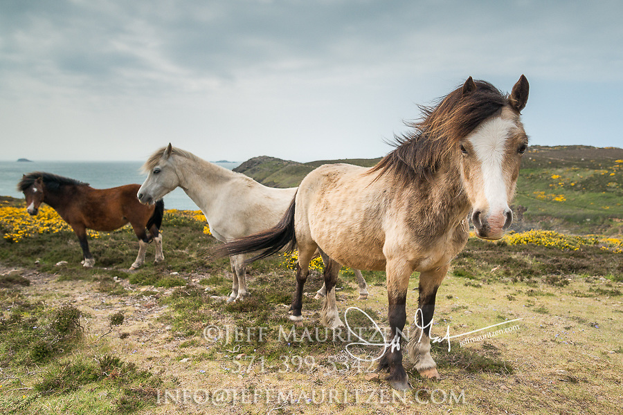 Wild Welsh ponies graze at St. David's Head along the Pembrokeshire Coast National Park in southwest Wales.