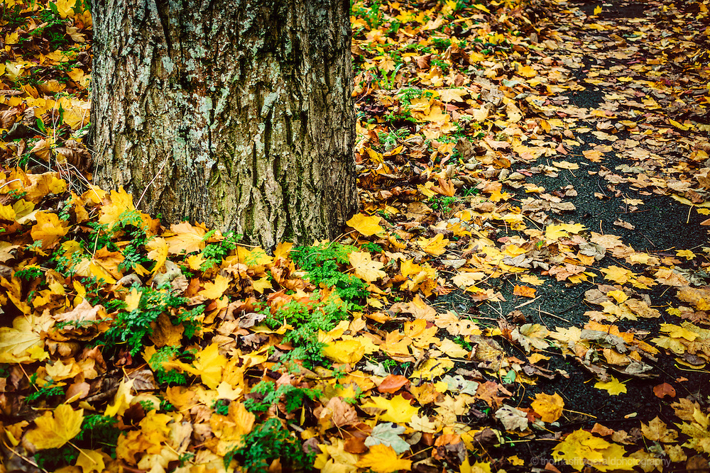 Autumn in Ireland, 2012: Fallen yellow leaves gather around the trunk of a tree beside a pathway in this Autumn scene