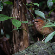 The rusty-naped pitta (Hydrornis oatesi) is a species of bird in the family Pittidae. It forages on the jungle floor for food.