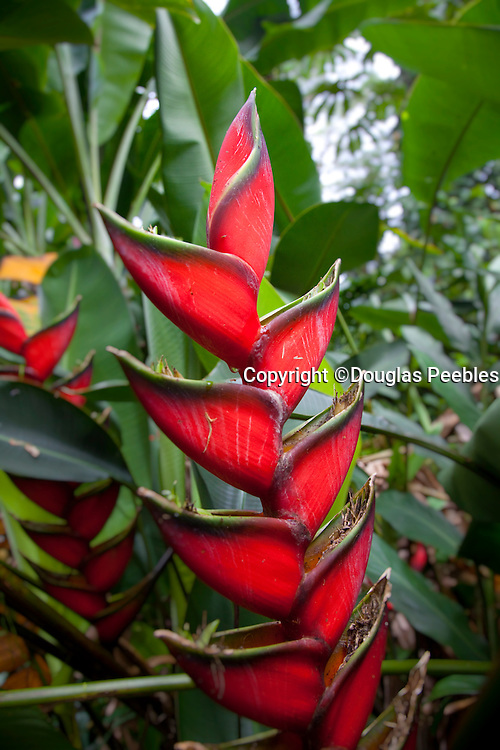 Heliconia flower, Lava Tree State Park, Puna, Island of Hawaii