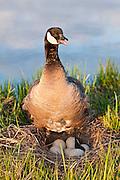 Cackling Goose, Branta hutchinsii, female at nest, Yukon Delta NWR, Alaska