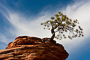 One of the most photographed pine trees in the world sits atop a sandstone rock in the Zion Plateau