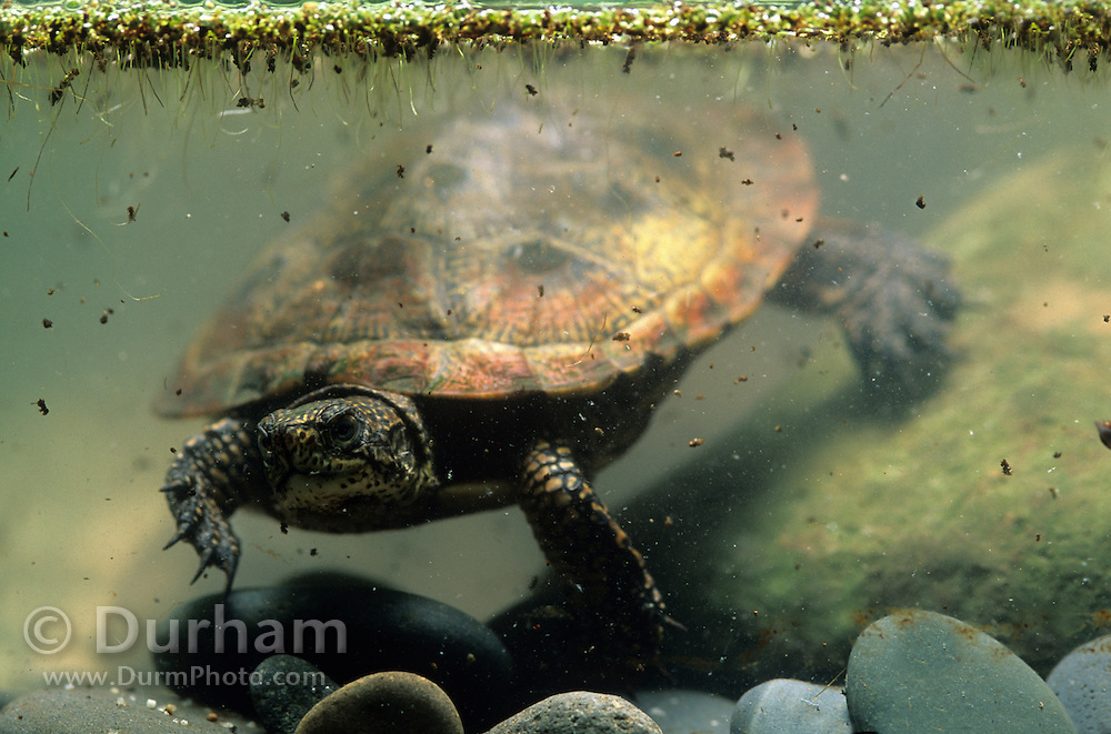 Adult western pond turtle (Clemmys marmorata) . Columbia River Gorge, Washington USA. Temporarily captive/controlled conditions.