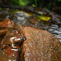 The rare Bornean Lungless Frog (Barbourula kalimantanensis) is fully aquatic and lives only in cool, clear, fast-flowing rocky streams.