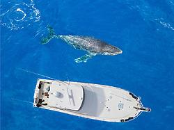 An aerial view of a humpback whale, Megaptera novaeangliae, surfacing beside a vessel, Hawaii.