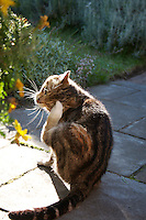 Tabby pet cat scratching sitting on garden path