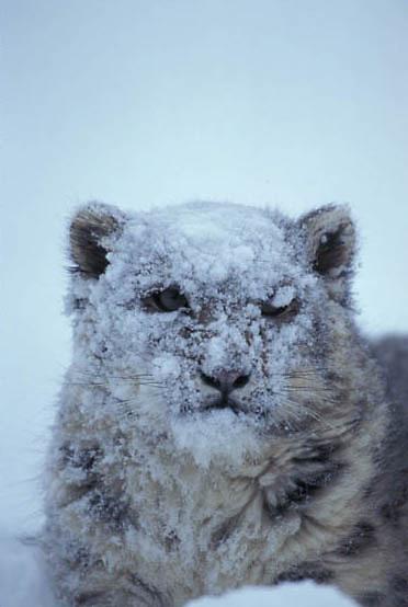 Snow Leopard, (Panthera uncia) Inhabits Himalaya mountains, Asia.  Captive Animal.