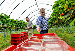 Pictured: Chair of the Scottish Affairs Committee Pete Wishart, SNP MP for Perth and David Duguid, Conservative MP for Banff and Buchan, visited the fruit farm and picked strawberries.<br /> <br /> Members of the Scottish Affairs Select Committee of Parliament visited West Jordan Stone fruit farm in rural Perthshire to see first hand the effects of reduced numbers of foreign workers coming in to pick fruit and other seasonal jobs, meaning tons of fruit has been left to rot on the plants.<br /> <br /> © Dave Johnston/ EEm