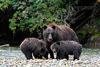 Grizzly bear family in the Great Bear Rainforest, British Columbia, Canada