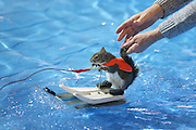 Toronto, ON, Canada - <br /> Louann Best releases the tail gently as she sends Twiggy on her way. Twiggy the Water Skiing Squirrel gets in some practice runs before her shows at the Toronto International Boat Show that runs January 8-17 at the Enercare Centre . at the Canadian National Exhibition in Toronto. Twiggy is an Eastern Gray squirrel. The Best family Louann and her son Chuck Jr. have been doing these shows for decades. This is Twiggy VIII, there is a Twiggy IX, they share shows. The squirrels always wear lifejackets as water safety is a theme of the show, <br /> ©Exclusivepix Media