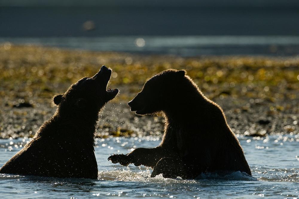 USA, Alaska, Katmai National Park, Kukak Bay, Brown Bears (Ursus arctos) sparring along shoreline on late summer morning