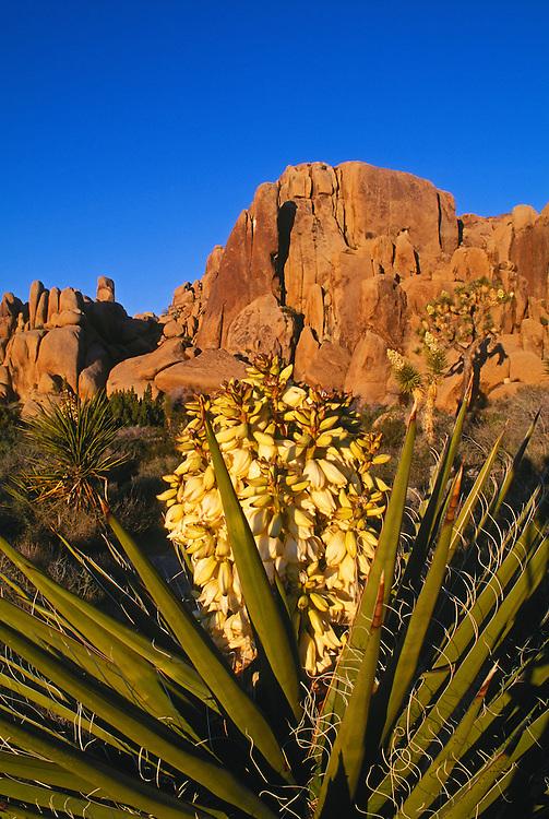 Blossoming Yucca plant; Joshua Tree National Park, Mojave Desert, California.  ..