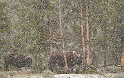 Buffalo in a snowstorm in Yellowstone National Park