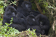 Mountain Gorilla<br /> Gorilla gorilla beringei<br /> Two mothers hold newborn infants (2-3 weeeks old) with sub-adults nearby<br /> Parc National des Volcans, Rwanda