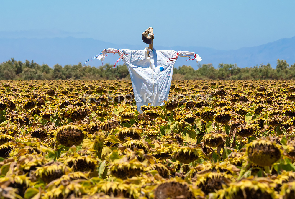 Scarecrow in the Sunflower Fields