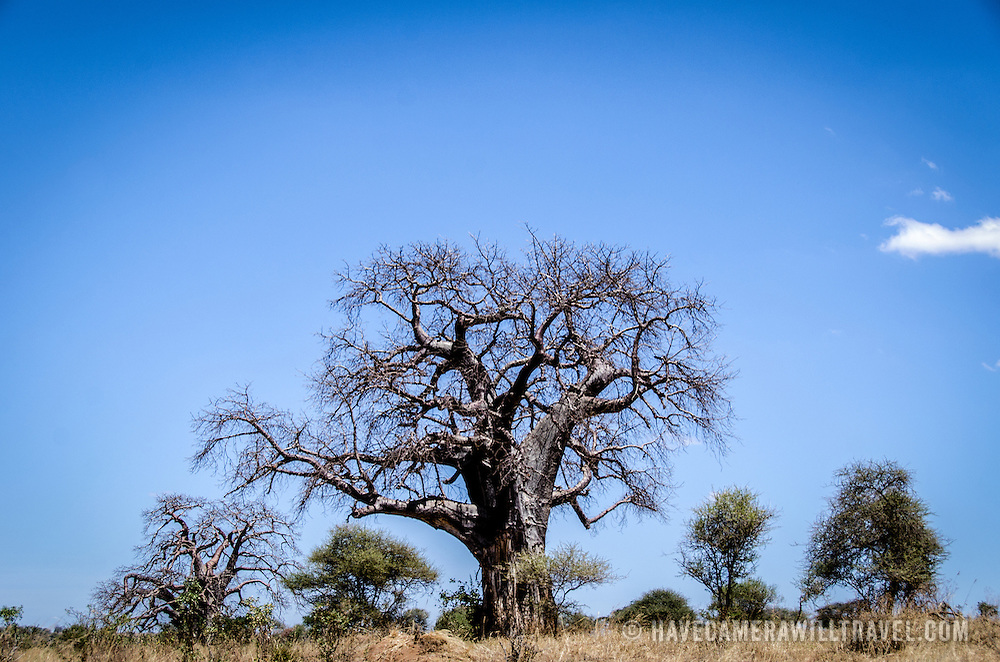 Tarangire National Park in northern Tanzania is famous for its thousands of elephants and baobab trees. In this shot, a denuded baobab tree in the dry season stands out against the clear blue sky.