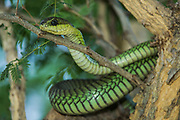 Boomslang (Dispholidus typus)<br /> Marakele Private Reserve, Waterberg Biosphere Reserve<br /> Limpopo Province<br /> SOUTH AFRICA<br /> HABITAT &amp; RANGE: Open bush and Savannah throughout subSaharan Africa