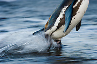 African Penguin emerging from the sea, Bird Island, Algoa Bay, Eastern Cape, South Africa