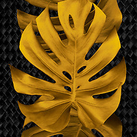 Golden Monstera leaves on dark background