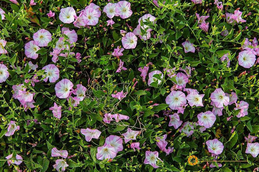 Field bindweed flowers in prairie dog town in Badlands National Park, South Dakota, USA