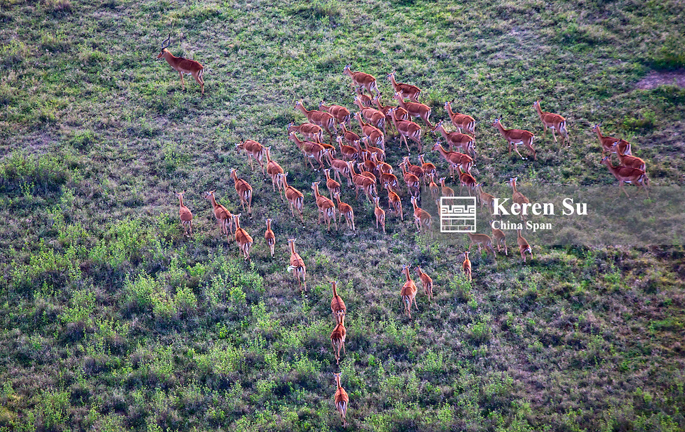 Aerial view of Impala (Aepyceros melampus) on the savannah, Kenya