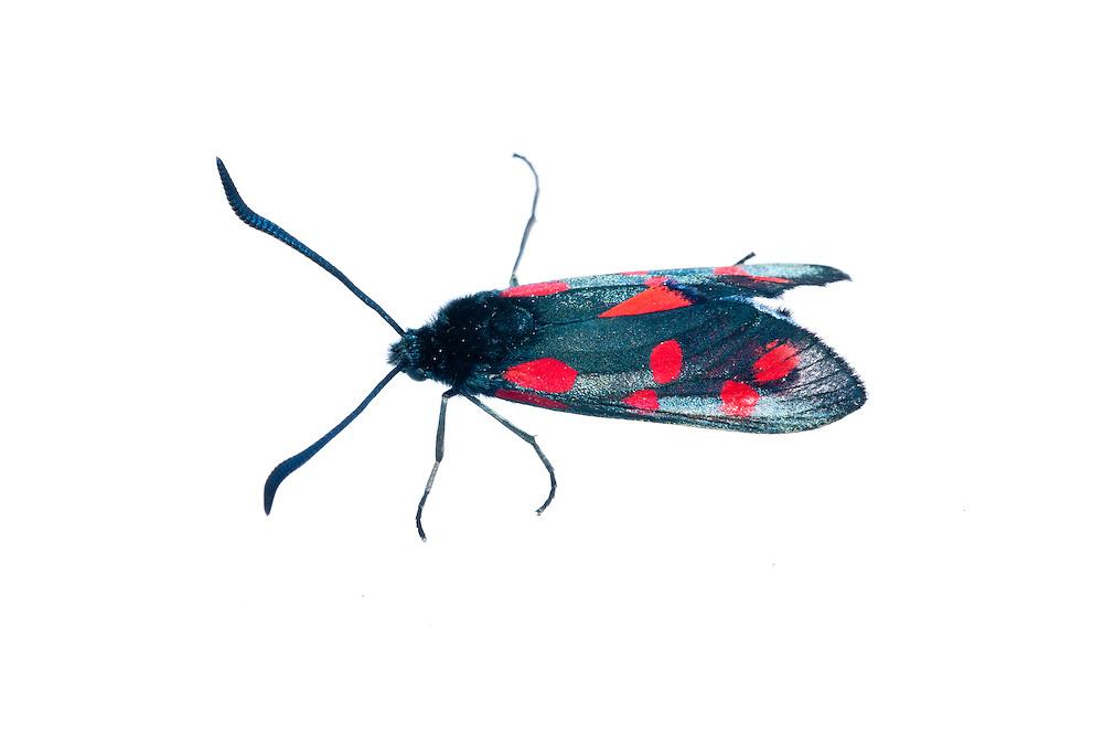 Six spot burnet moth in the field studio, Scotland