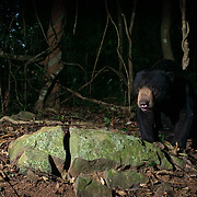 The sun bear (Helarctos malayanus) is a bear species occurring in tropical forest habitats of Thailand. It is listed as Vulnerable on the IUCN Red List. The global population is thought to havedeclined by more than 30% over the past three bear generations. <br />