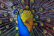 Peacock tail feathers rustling
