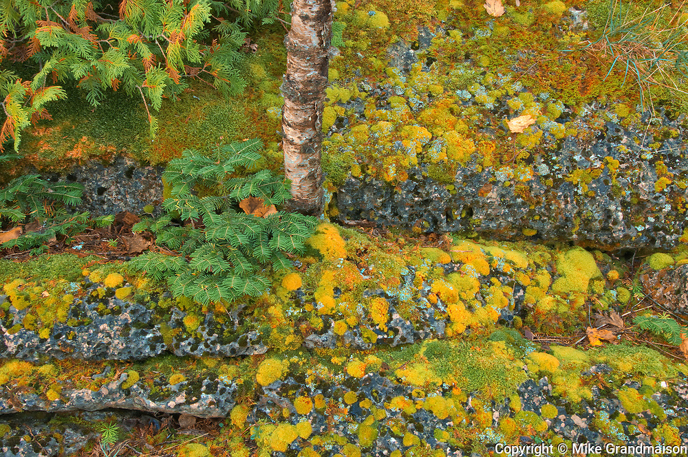 Birch tree and moss on limestone rock. Burnt Point. Bruce Peninsula.<br />