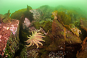 A Sunflower star, Pycnopodia helianthoides, crawls over rocks on a deep reef offshore Nanaimo, Vancouver Island, British Columbia, Canada.
