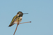 Black-Chinned Hummingbird at San Elijo Lagoon in San Diego, California