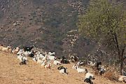 Goats on a Dry Laguna Beach Hillside