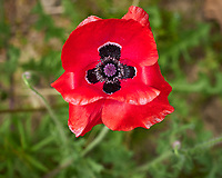 Red Oriental Poppy. Image taken with a Leica CL camera and 60 mm f/2.8 lens (ISO 100, 60 mm, f/4, 1/400 sec).