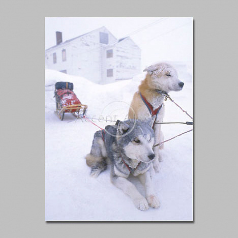 Alaska. Unalakleet. Mike Madden's dogs, Rocky and Dudley, cower from the cold during the Iditarod.