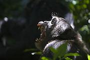 Chimpanzee<br /> Pan troglodytes<br /> Yawning<br /> Tropical forest, Western Uganda