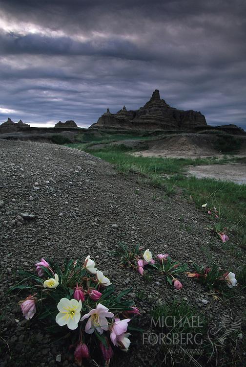Badlands National Park, South Dakota..Evening primrose and badlands formation after thunderstorm
