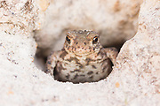 Male toad (Bufo bufo) at entrance to burrow in clay bank. Ham Common, Poole, UK.