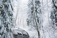 Winter forest scene near Mt Baker Washington USA.