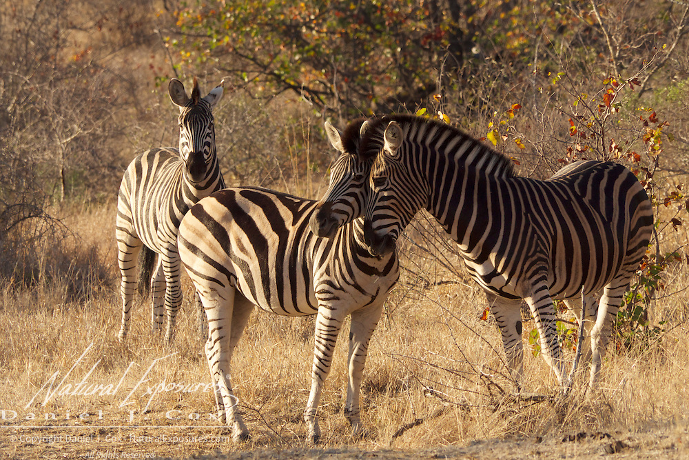 Burchell's Zebra, Timbavati Game Reserve, South Africa.