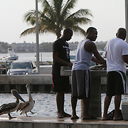 Brown pelicans, Pelecanus occidentalis, hang out near the Boynton Inlet in South Florida.<br />  Photography by Jose More